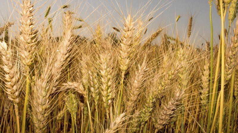 Wheat 5011249 1920